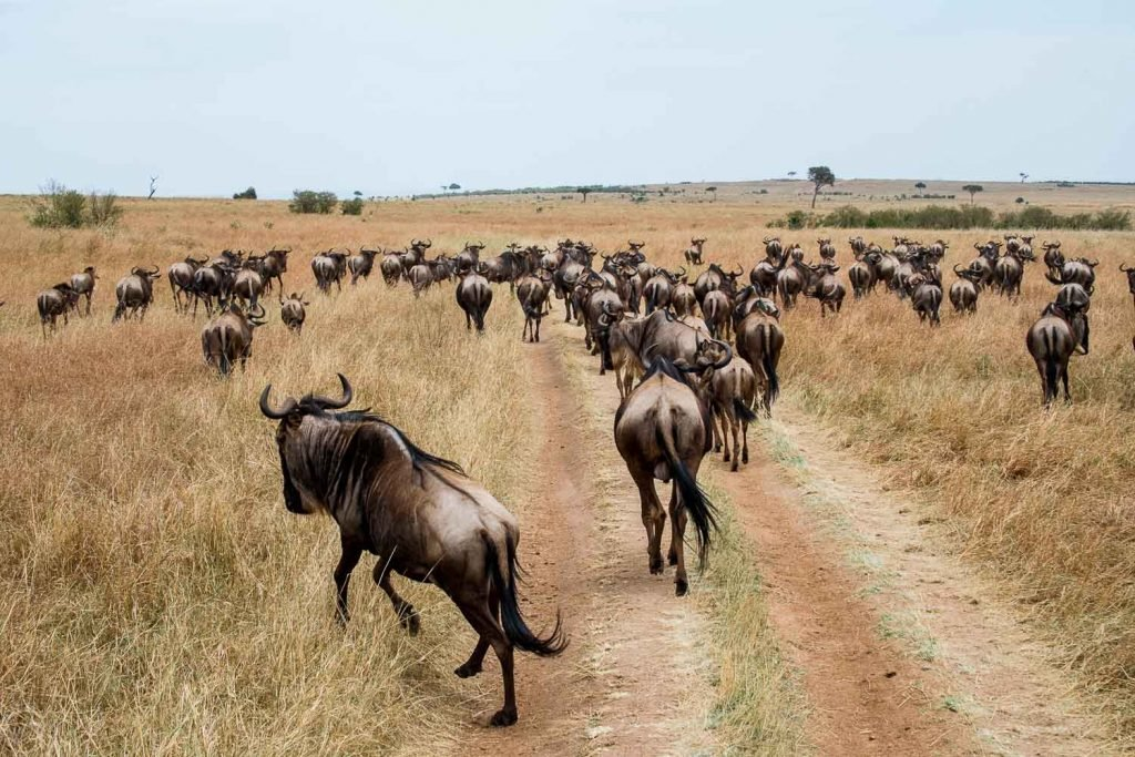 Wildebeest Running Across the Plains