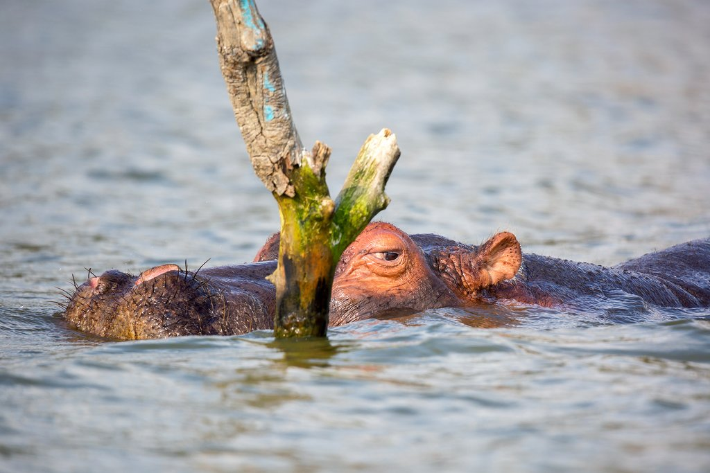 Close up of a hippopotamus in Lake Naivara