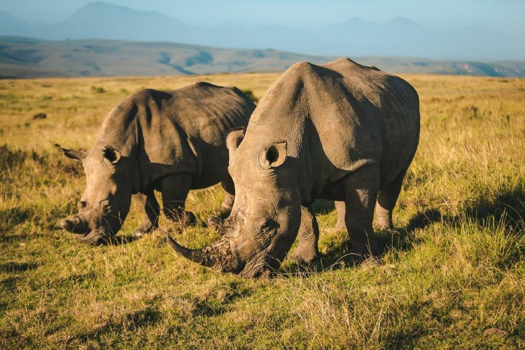 Rhino at Gondwana