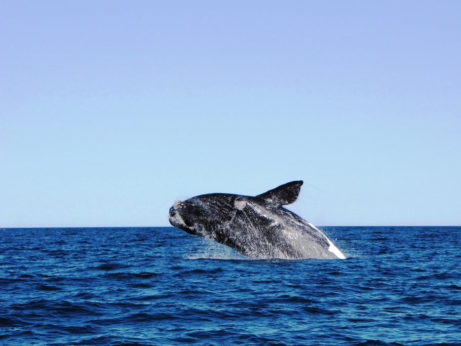 A southern right whale breaching the surface of the ocean