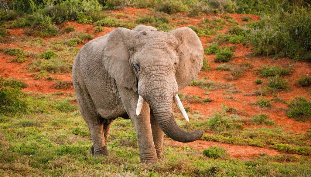 An elephant in Amakhala Game Reserve