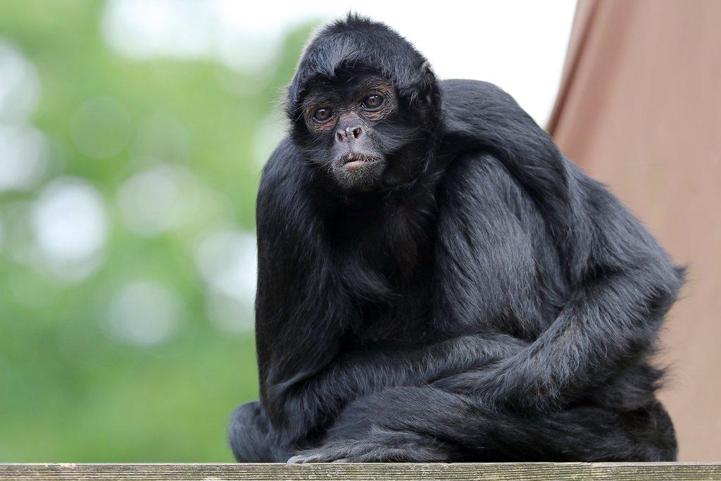 Bolivia - Madidi Jungle - Spider monkey
