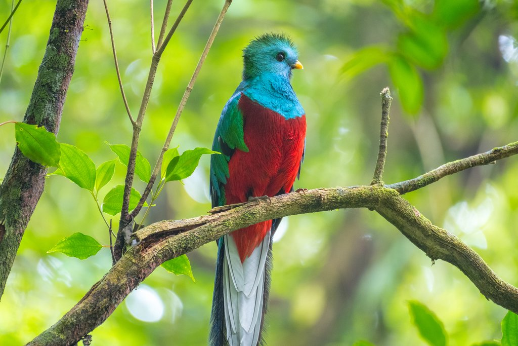 A male resplendent quetzal sits on a tree branch in the forest of Monteverde National Park