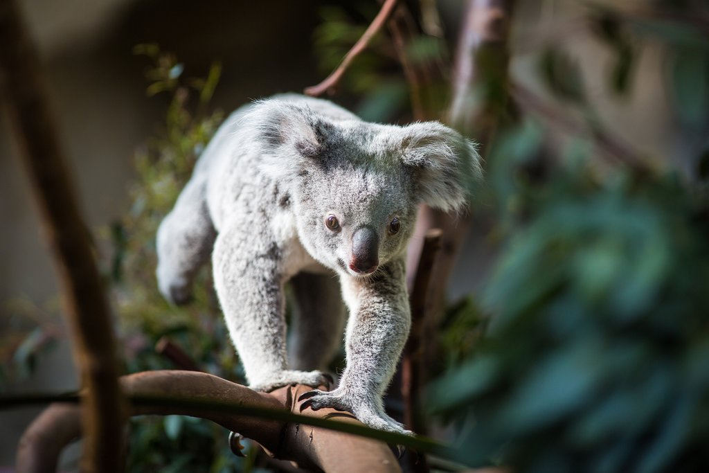 Australia - Kuranda Koala World - Koala
