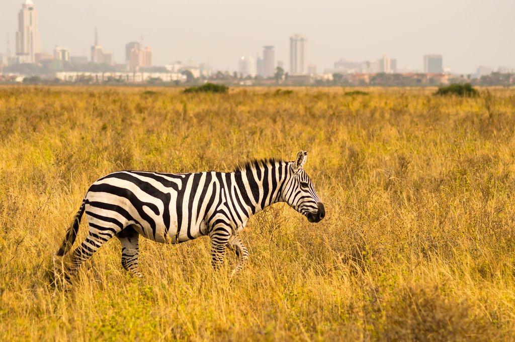 A zebra in Nairobi National Park