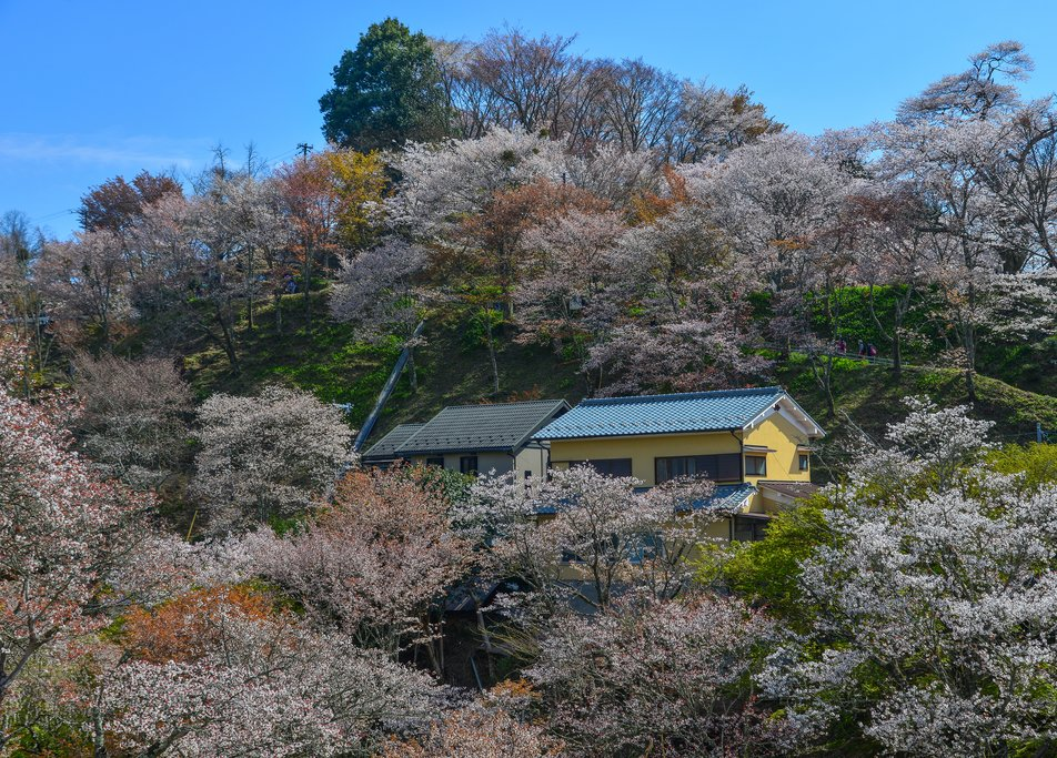 Cherry Blossoms in Yoshino Park, Japan