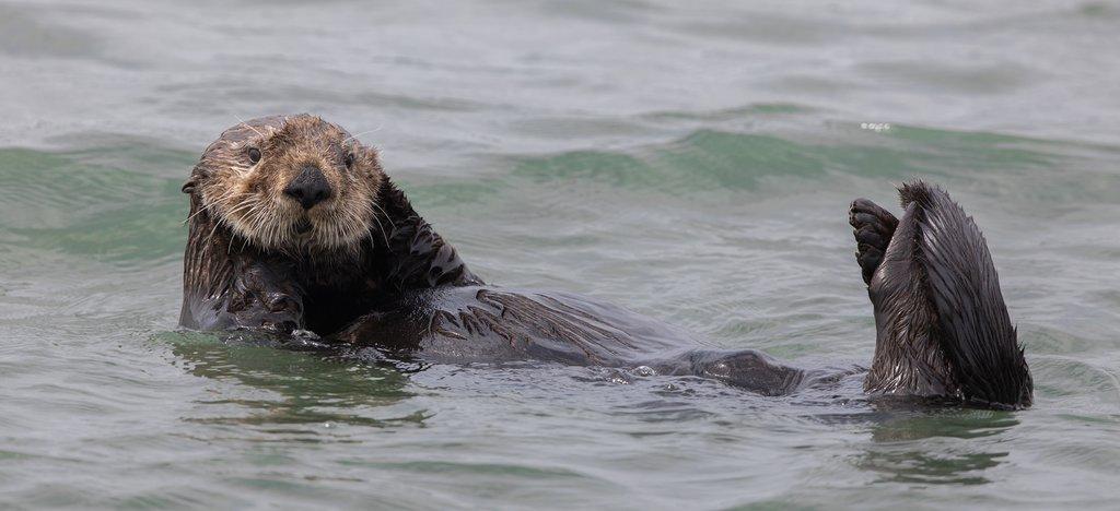 Sea otter in Moss Landing