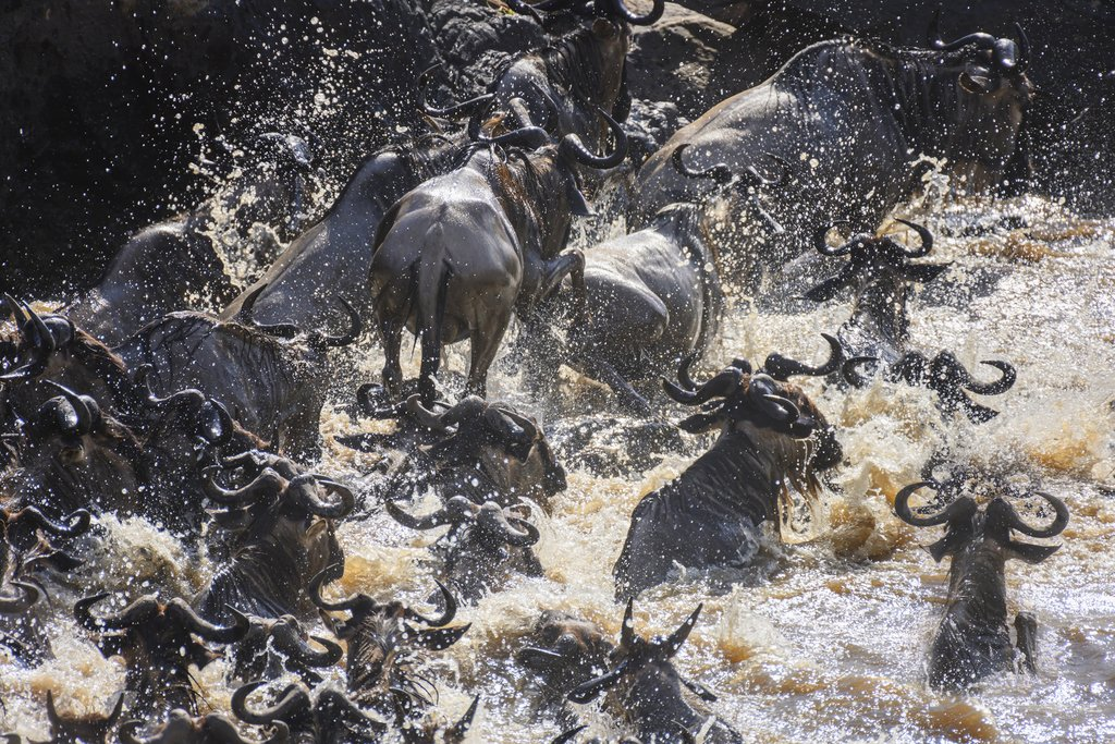 1.8 million Wildebeest crossing Mara River in Masai Mara