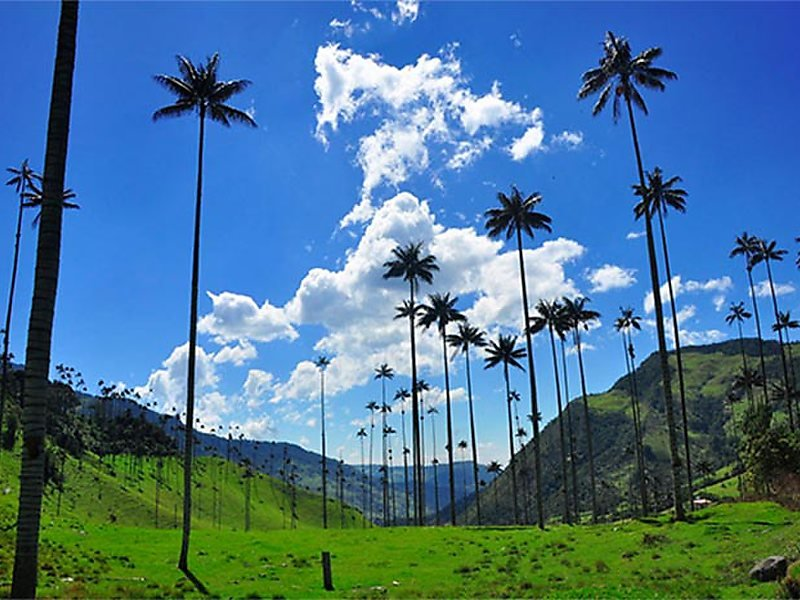The Cócora Valley's distinctive towering palms.