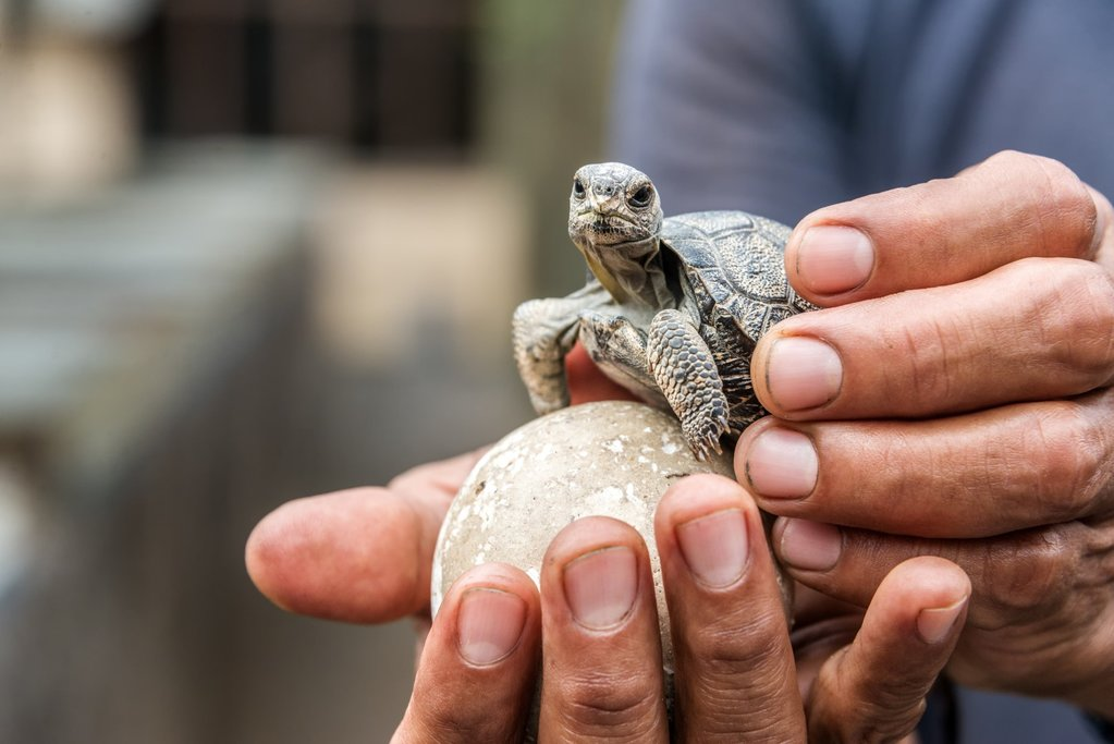 Baby turtle at the Breeding Station
