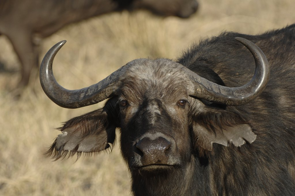 African Buffalo at Moremi Game Reserve