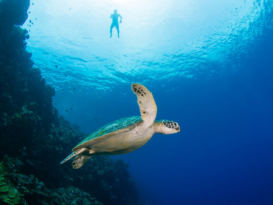 Indonesia - Bunaken National Park - Snorkeler and green sea turtle