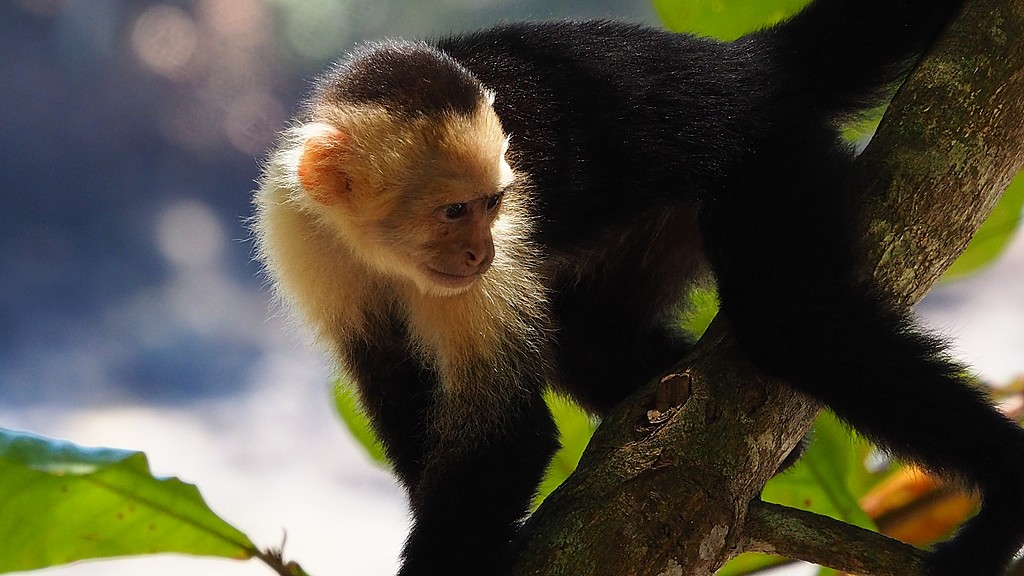 On a hike, visit local wildlife, including the white-faced monkey