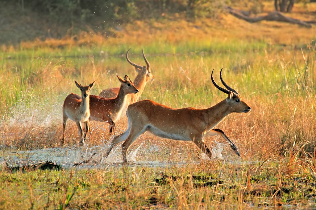 Red lechwe antelopes running through Kwando River, Namibia
