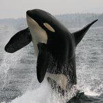 An orca breaches the surface