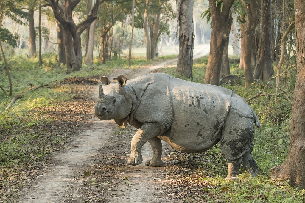 This large rhino is primarily found in northeastern India