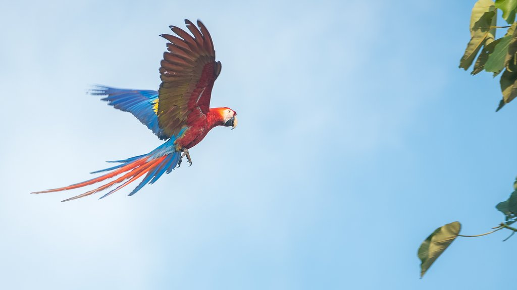 A Scarlet Macaw native to Central and South America