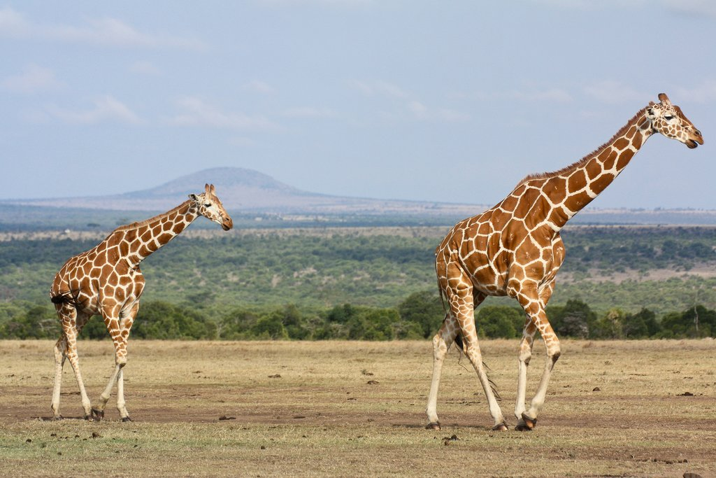 Two giraffes in Ol Pejeta Conservancy