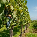 Malbec grapes on the vine