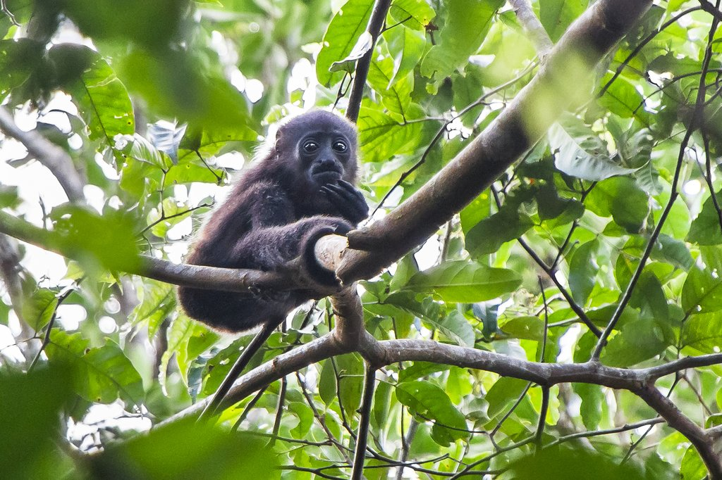 Spot howler, spider, and capuchin monkeys while touring Tortuguero National Park
