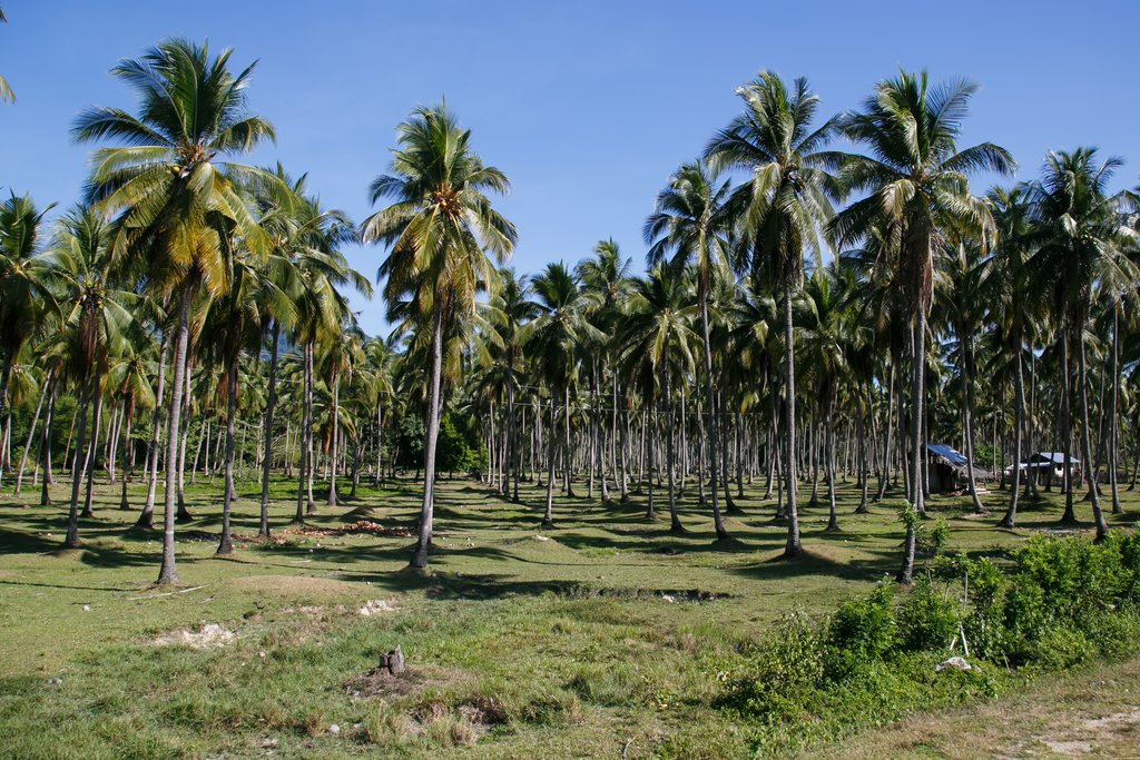 Busuanga coconut plantation, the Philippines