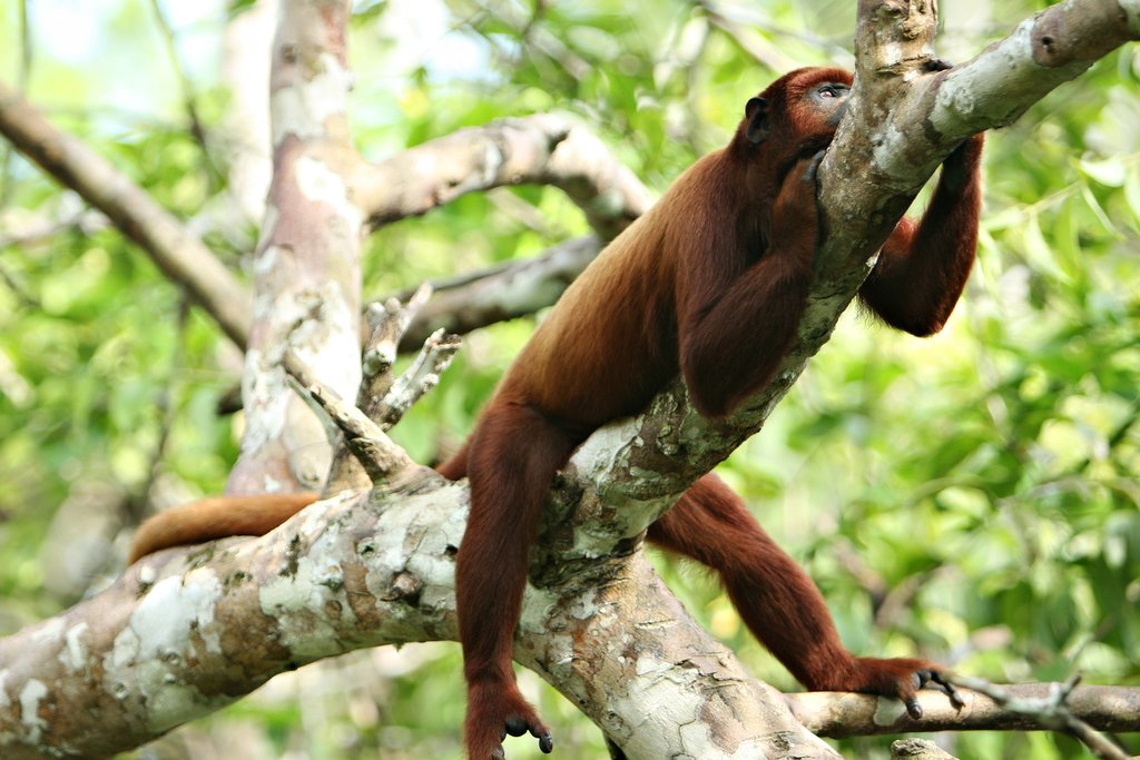 Spot howler monkeys in the Peruvian jungle
