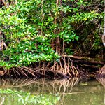 Mangroves that grow in the Estuary