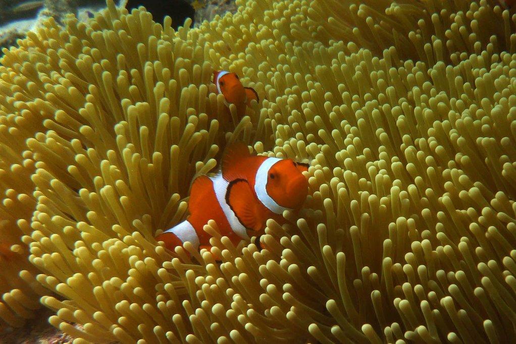 Clownfish off the coast of Maratua Island