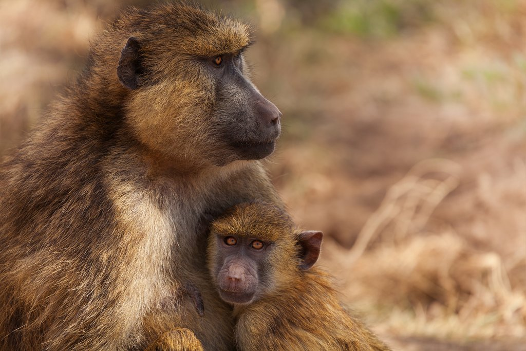 Baboons in Kenya