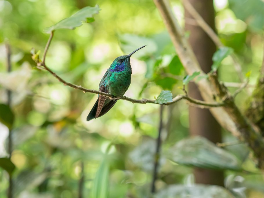 Hummingbird in Monteverde