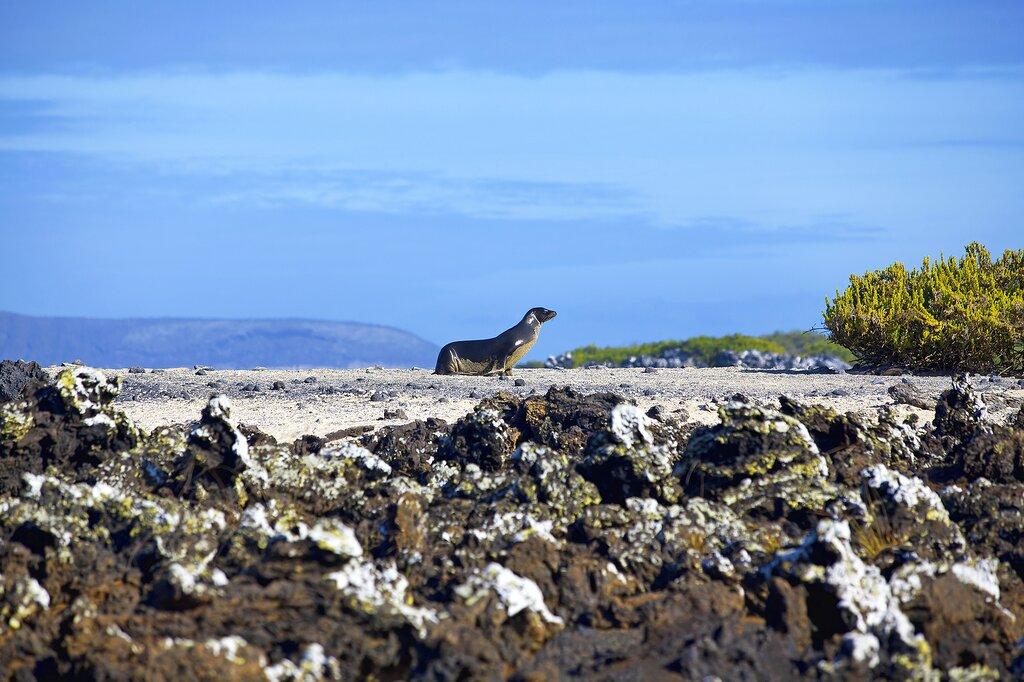 Sea lion walking on Las Tintoreras, Galapagos