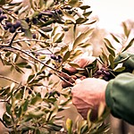 Participate in the Harvest of Olives