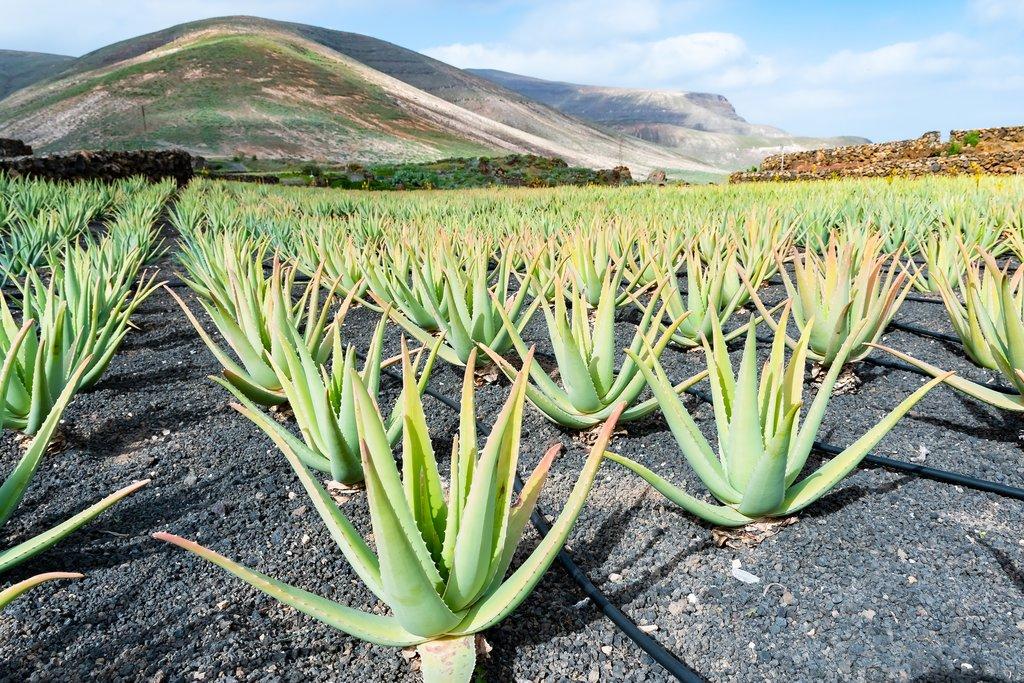 Aloe Vera and its Harmony