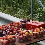 Apple orchard near Utne