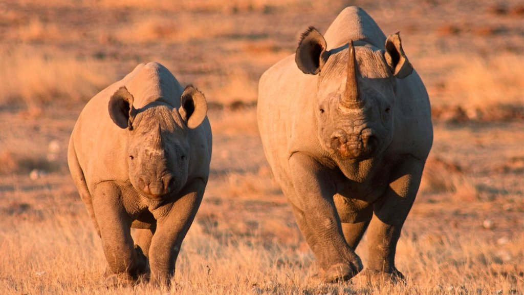 A pair of rhinoceros at sunset
