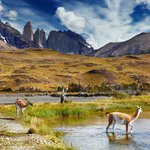 You'll likely see guanacos in Torres del Paine
