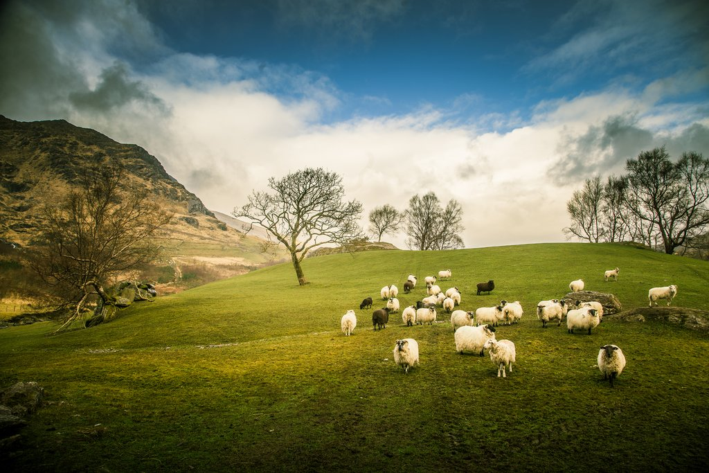 Sheep in Gleninchaquin Valley