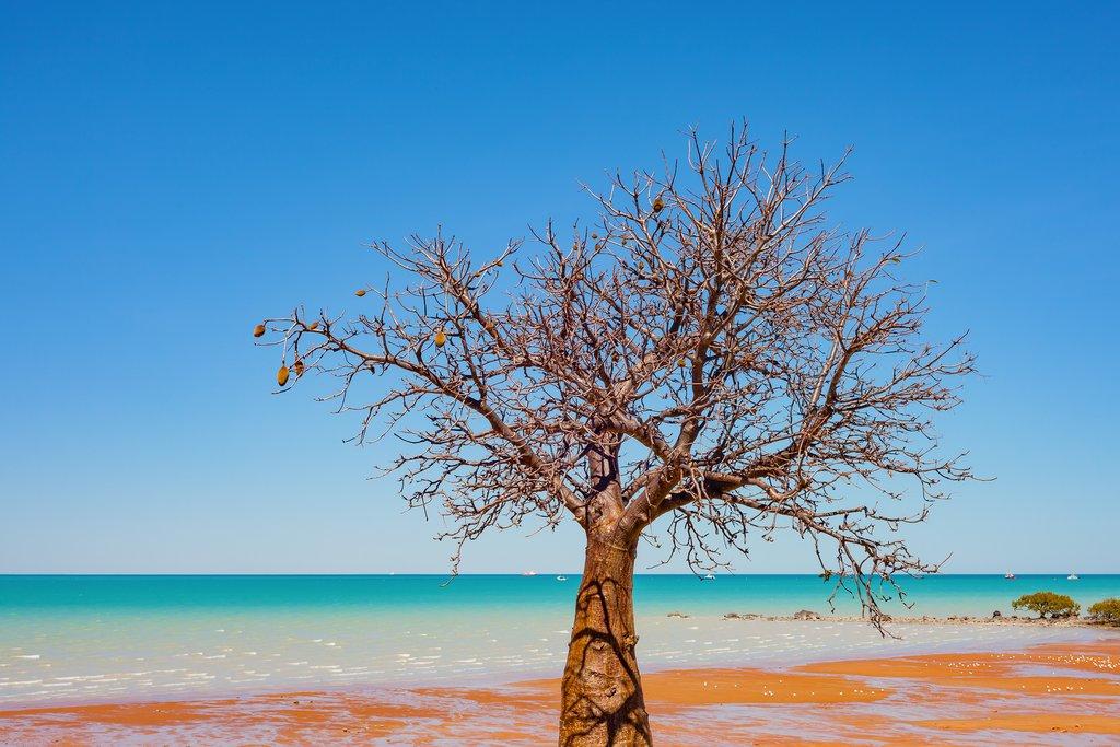 Baobab tree in Broome