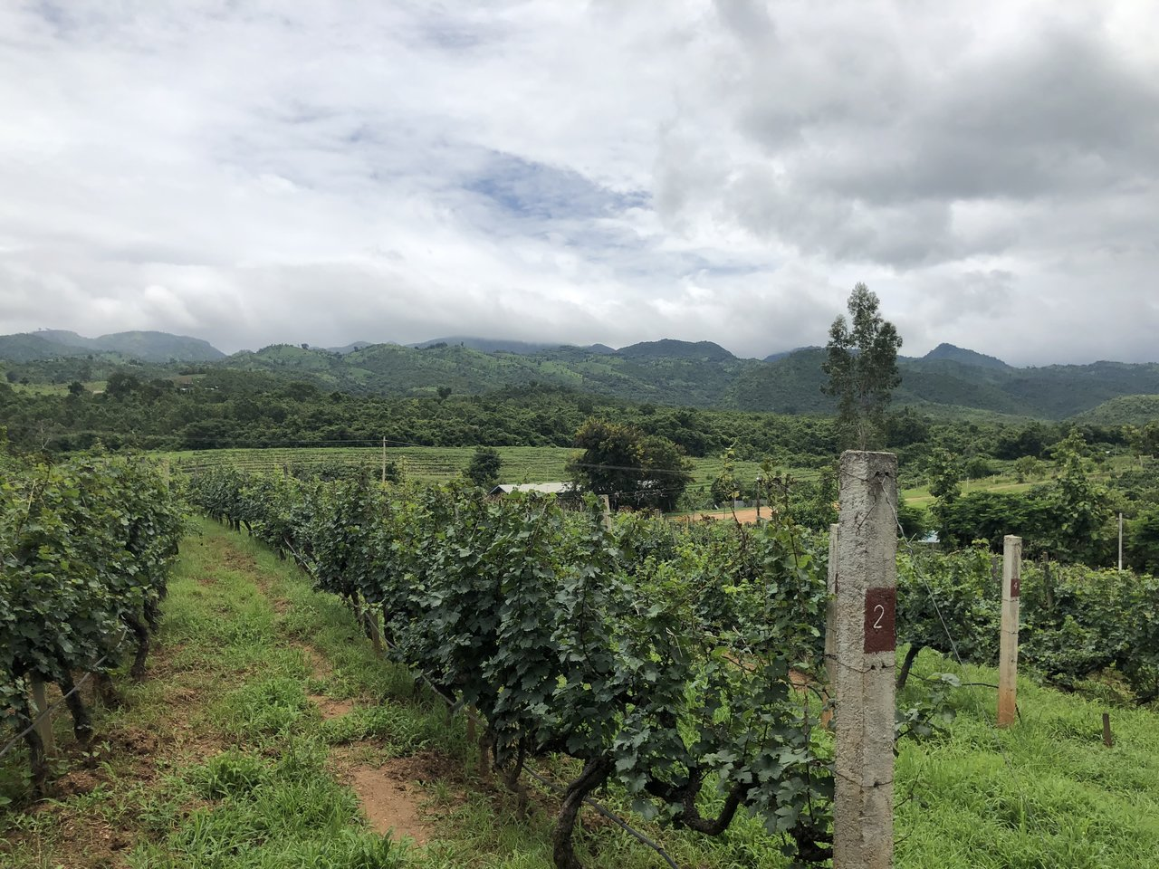 Red Mountain Estate Vineyards and Winery's grapevines | Photo taken by Su-Lin T