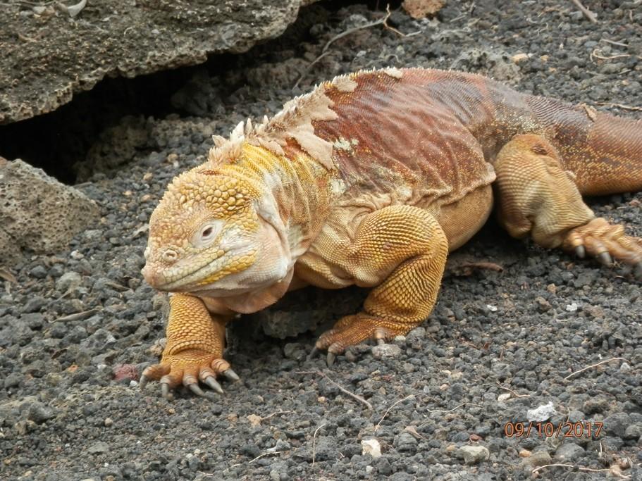 Galápagos land iguanas. | Photo taken by Katrina H