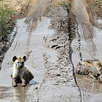 Hyenas cooling off in the road ahead of us. | Photo taken by Jonathan G