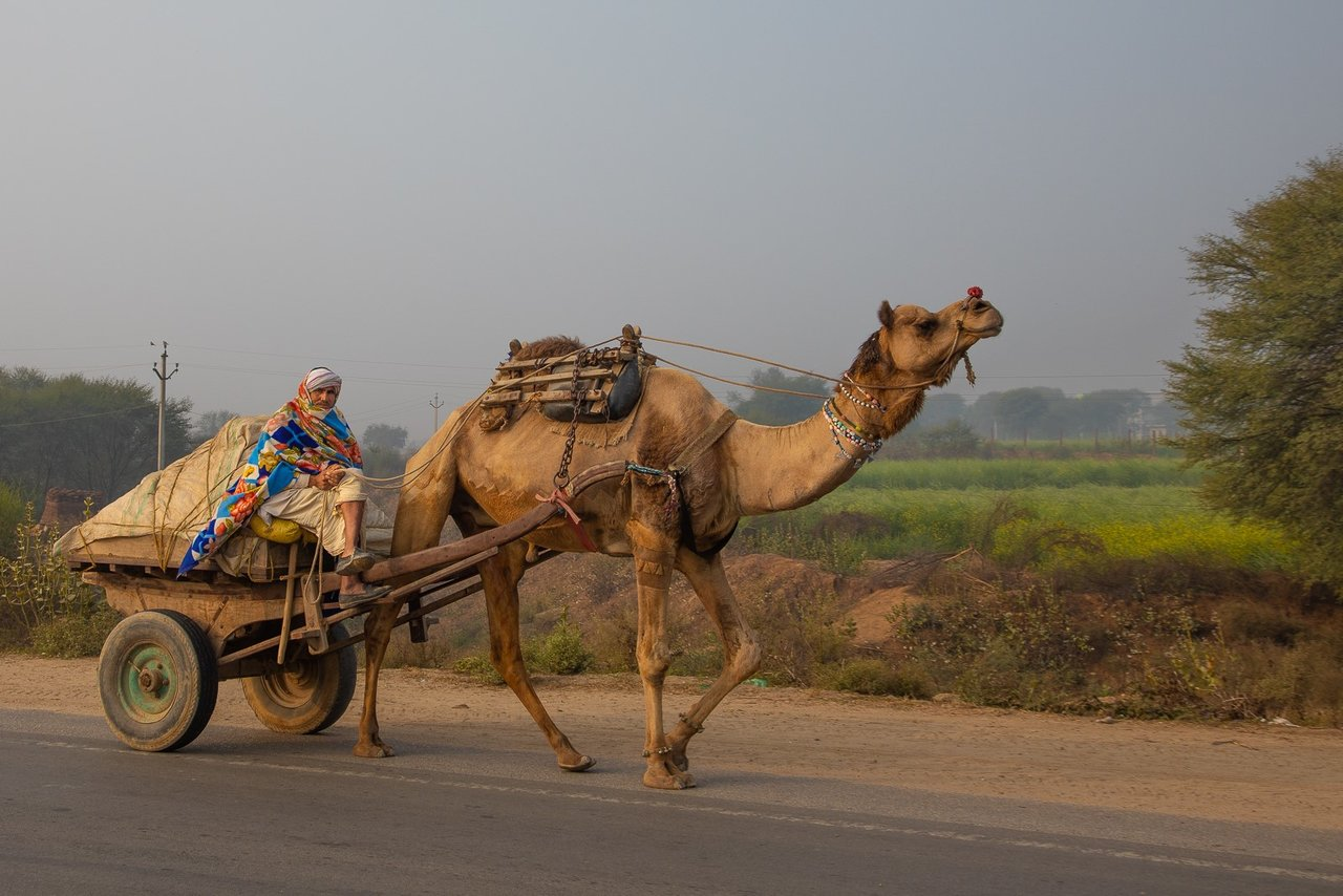 Decorated Camel and driver on road to Jaipur. Typical decorations include beads, flowers, and shaved pattern in the camel's hair.  | Photo taken by Jean M