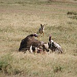 After the cheetah eats vultures and a jackel have their share. | Photo taken by Jonathan G