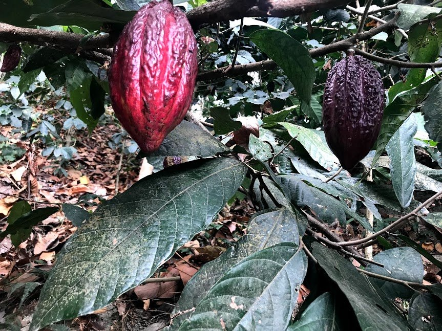 Cacao pod | Photo taken by Sophie E