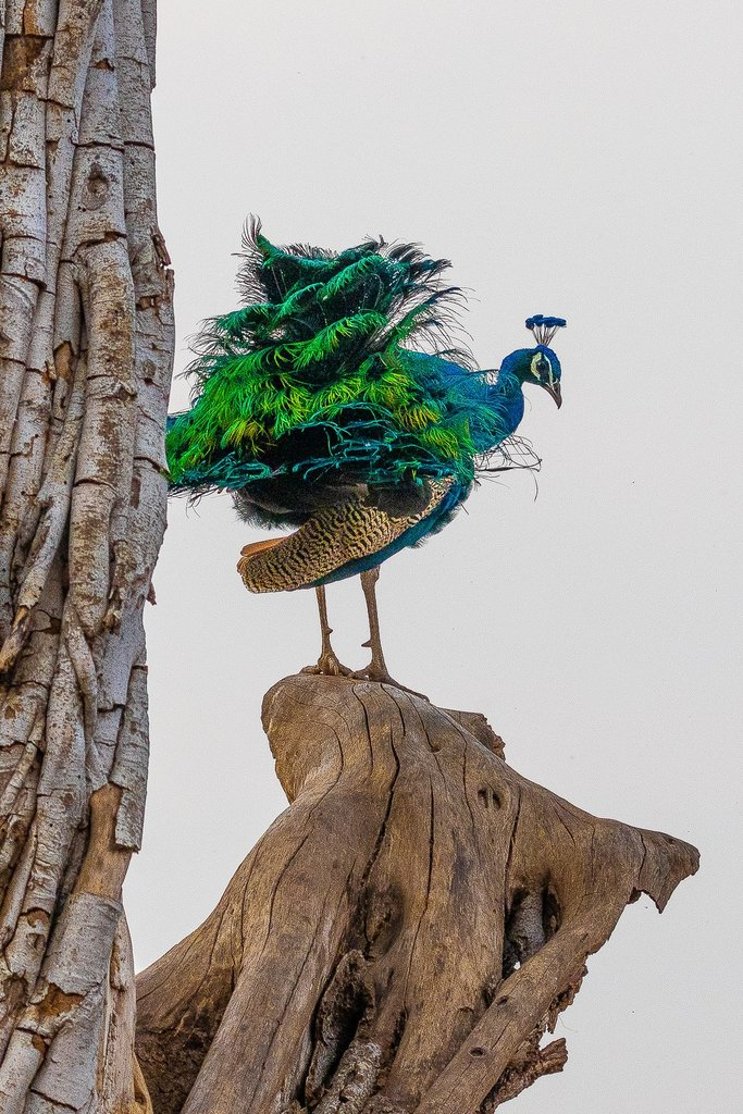 Peacock, national bird of India, Ruffling his feathers. | Photo taken by Jean M