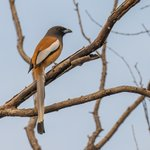 Indian Treepie | Photo taken by Jean M