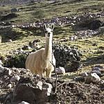 Alpaca | Photo taken by Kristin M