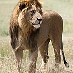 The darker the lions mane the more attractive it is to female lions. | Photo taken by Jonathan G