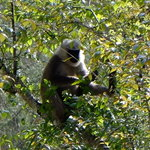 Langur | Photo taken by Donna W