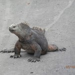 The incredible marine iguanas of Galápagos. | Photo taken by Katrina H